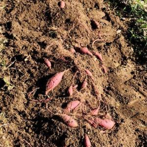 カライモ(サツマイモ)掘りなどで汗を流しました