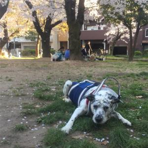 老犬介護と桜〜逆らえぬ大いなる時間の流れを感じる時〜