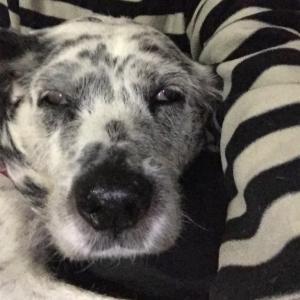 【犬の抜け毛】抜け毛の多い犬種のメリットデメリット