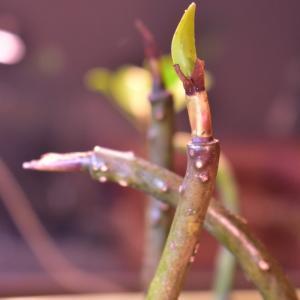 マングローブ発芽