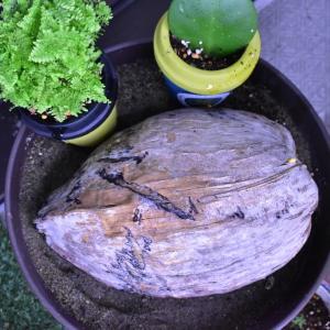 ココヤシの発芽