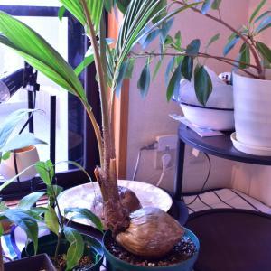 亜熱帯植物の冬支度、ヌマエビの成長