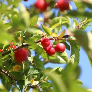 札幌市内の公園になっていた姫リンゴ(イヌリンゴ)の実