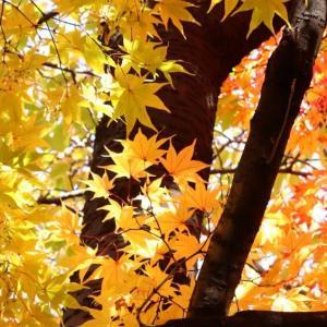道庁前庭の紅葉2019。札幌都心の紅葉の名所