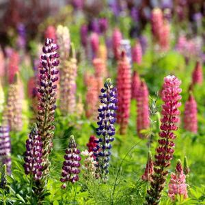 6月の百合が原公園の花たち2。菜の花、シャクヤク、バラ、ルピナスなど