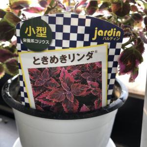 コリウス【ときめきリンダ】切り花としても楽しめる!
