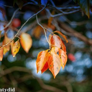 柿の葉 紅葉