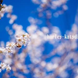 師走の四季桜