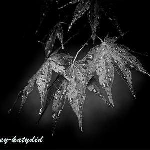 雨に濡れるイロハモミジ