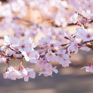 2020年 桜&ハナモモ情報(柏の葉公園・野々下水辺公園・大堀川)