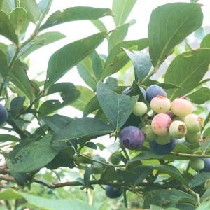 ブルーベリー農園「こでら」でシーズン真っ盛りのブルーベリー狩り♪(印西市)
