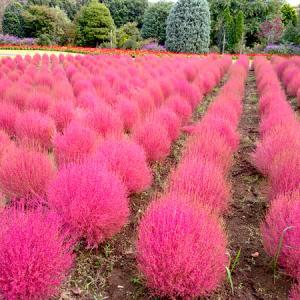 「清水公園 花ファンタジア」のコキアが見頃です♪