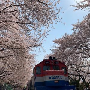 【韓国旅行記1人旅2019年4月】鎮海軍港祭!!鎮海は来年も絶対に行きたい桜の名所でした!