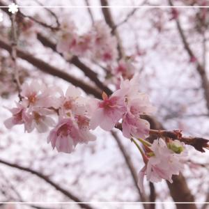 桜・サクラ・ジュウガツザクラ