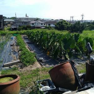 今年は梅雨が長く夏野菜に大ダメージです【農業日誌2020年8月14日】