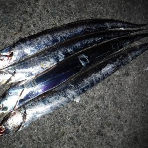 タチウオ・青物調査 神戸沖堤201900915