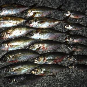 25cmアジ調査 再び⑦ 神戸沖堤20191220
