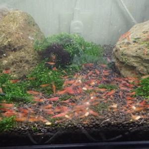 赤いミナミヌマエビ 60cm水槽300匹 ジャパンレッドシュリンプ