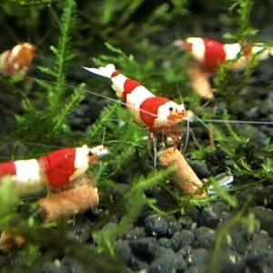 レッドビーシュリンプ バンド系50匹 動画 抱卵 稚エビがたくさん生まれています