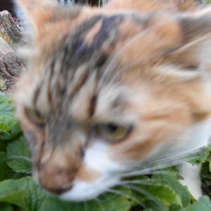 【猫クイズ・ゆずみか問題85】どっちが、みかん?ゆず?