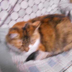眠たい顔してる長毛三毛猫