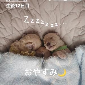 【癒し画像満載♡】トイプードルパピー犬♪生後約2週間までの成長記録♪