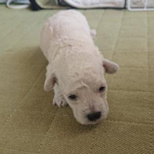 【お知らせ】パピー犬成長記録の今後の投稿について