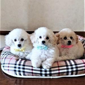 【トイプードルパピー犬成長記録10】パピー犬と暮らすリビング準備!