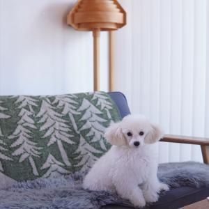 【トイプードルパピー犬成長記録17】くぅちゃん激カワ写真てんこ盛り~♡