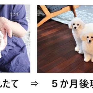 わんわんわんの日!【トイプードルパピー犬成長記録】くぅちゃん誕生~5か月振り返りスペシャル版♡