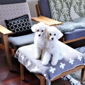 【トイプードルパピー犬】仲良し「密」な二匹♡日の当たる場所が好き(´ω`*)