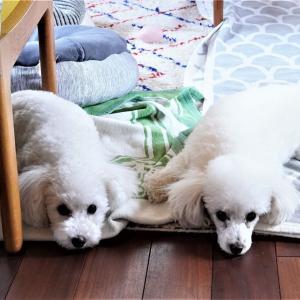 仲良しすぎて密着する愛犬達♡癒され画像をたっぷりお楽しみください~(*´ω`)