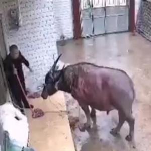 飼育している牛に裏切られたお父さん、大ダメージを負う