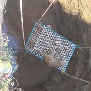 井戸に転落したヒョウを救出したところ、まさかの事態に!