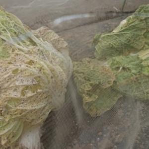 白菜のアブラムシ駆除失敗か