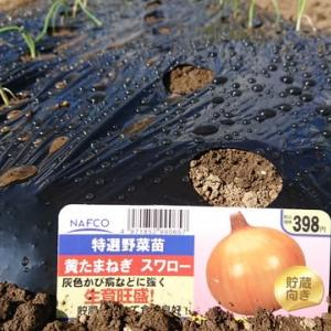 玉ねぎとニンニク一気に植え付け