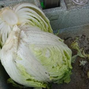 白菜収穫と米のとぎ汁乳酸菌散布