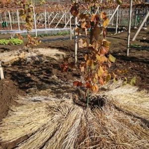ぶどうの樹木への敷き藁です