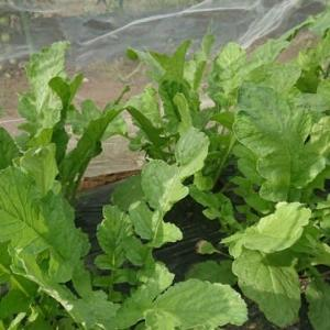 放置野菜の収穫と手入れ