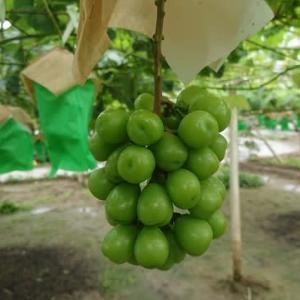 シャインマスカット果粒肥大と収穫時期