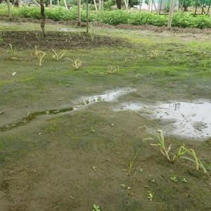 シャインマスカット梅雨時の土壌管理