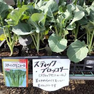 ブロッコリーのずらし植え(栄養満点な野菜ですね)