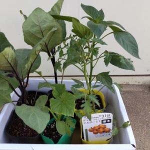 春夏野菜苗植付けました