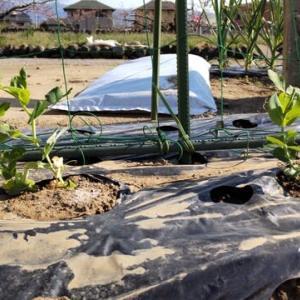 果菜類と葉菜類野菜で畑も賑やかになってきました