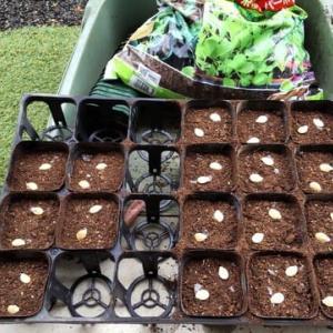 今年も天空カボチャとおおまさりの栽培スタート