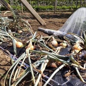梅雨入り前に収穫、そして「おおまさり」へのリレー