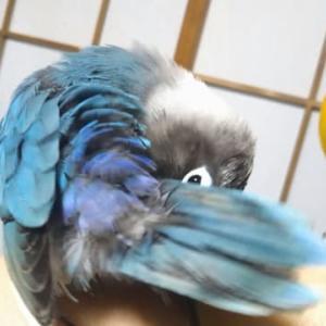 チロちゃんの抜いちゃった羽毛、少し生えて来た?♪