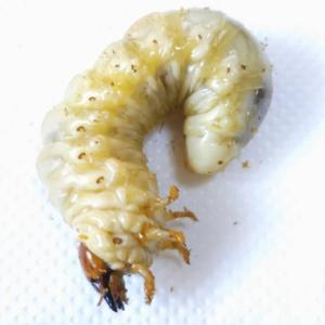 オオクワガタの幼虫、菌糸交換