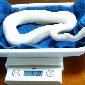 4月の体重測定ウリちゃん