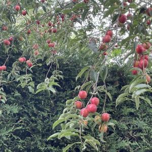 チェリープラムが豊作すぎて困った件〜夏は収穫の季節です!